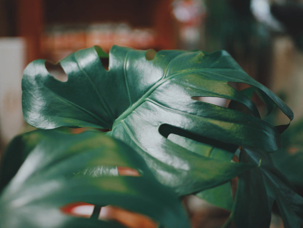 Plantes-faciles-entretenir-monstera-1