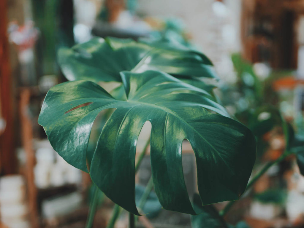 Plantes-faciles-entretenir-monstera-3